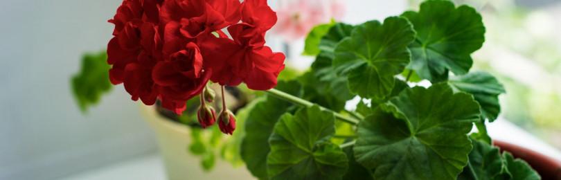 Тематическая неделя «Комнатные растения» в подготовительной группе